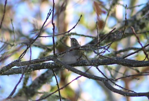 oregon or rubycrownedkinglet reguluscalendula jacksoncounty