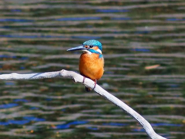 Common kingfisher (川蝉, カワセミ)