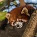 Shy Red Panda