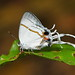 Paradeudorix eleala by festoon1