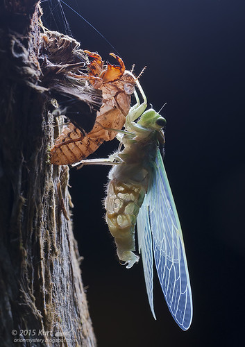Backlit cicada_MG_6544 copy