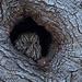 Western Screech Owl - _MGL4662-1 by arvind agrawal
