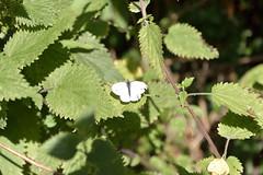 shrub, leaf, plant, flora, urtica,