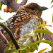 Spotted Bowerbird Chlamydera maculata Ptilonorhynchidae Feeding On Melia azedarach Meliaceae Charleville -1 by Nieminski