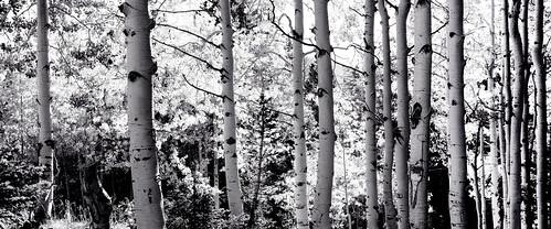 tree fall rio grande us colorado unitedstates pass aspen cumbres antonito
