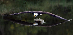 Can you see my reflection?  (Bald Eagle)