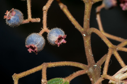 peru amazonas melastomataceae fieldpicture amazonasregion tamiconiaruizii colmichelangeli1711