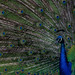 Blue Peafowl.... by Henry der Mops-All Rights Reserved-do not use any