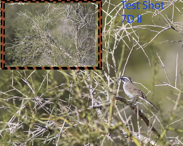 Black-throated Sparrow  7D2 test _0007