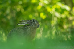 Bokeh Brown Hare