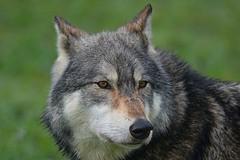 DSC_0580 Wolf 10