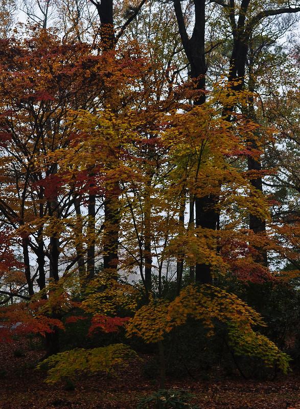 Acer palmatum 'Yellow Bird'