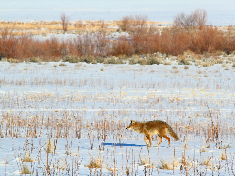 IMG_4034 Coyote, Antelope Island State Park