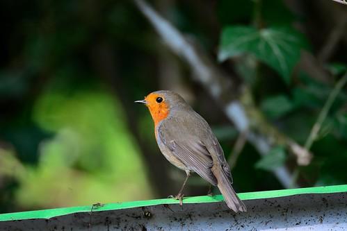 Rougegorge Familier   (Erithacus Rubecula) - European Robin