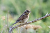 Wryneck by angus molyneux