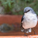 White-breasted Robin (Eopsaltria georgiana) by Ian Colley Photography