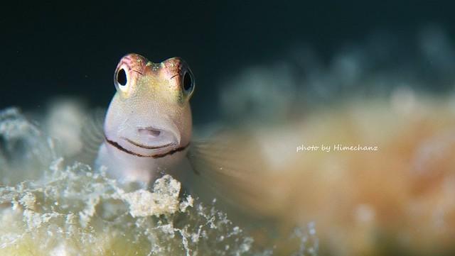 この表情がたまらない、イシガキカエルウオ幼魚ちゃん♪