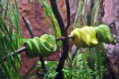 Green Tree Python at the Los Angeles Zoo