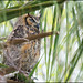 Great Horned Owl - Fort De Soto Florida by Nikographer [Jon]