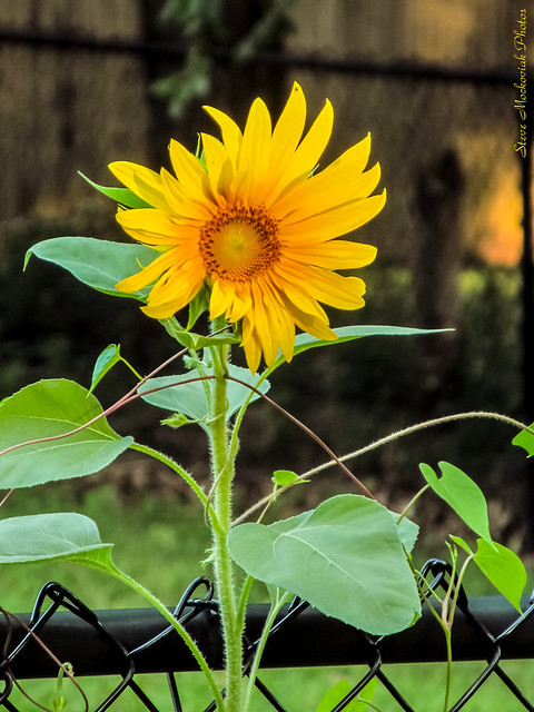 Sunflower Greeting_10570