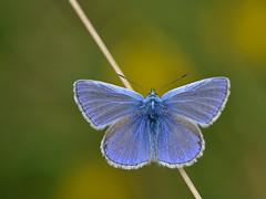 Icarusblauwtje man