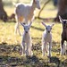 Baby goats by marj k