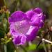 Small photo of Purple False Foxglove (Agalinis purpurea)