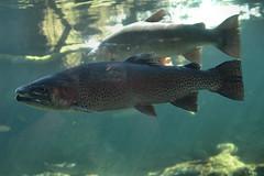 D70-0812-002 - Fish of the Sacramento River