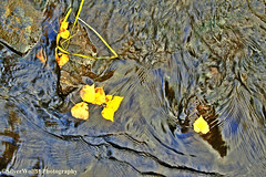 Moving Water and Golden Leaves W _9650