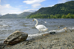SWAN LAKE  -  (Selected by GETTY IMAGES)