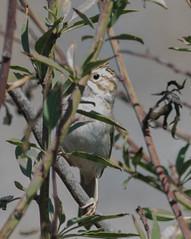 Clay-colored Sparrow  (Spizella pallida)