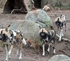 African Wild Dogs Running, Lincoln Park Zoo, Chicago by jessicalynn0418