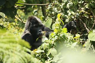 Gorilla Trekking.