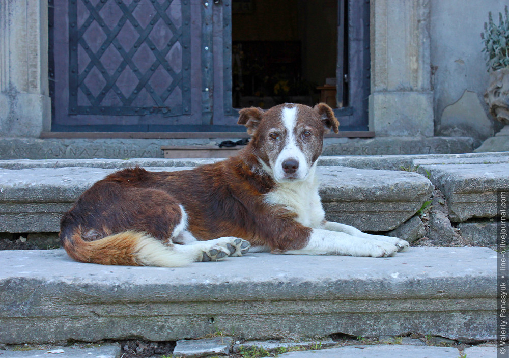 20150720_pidgorec_dog_001