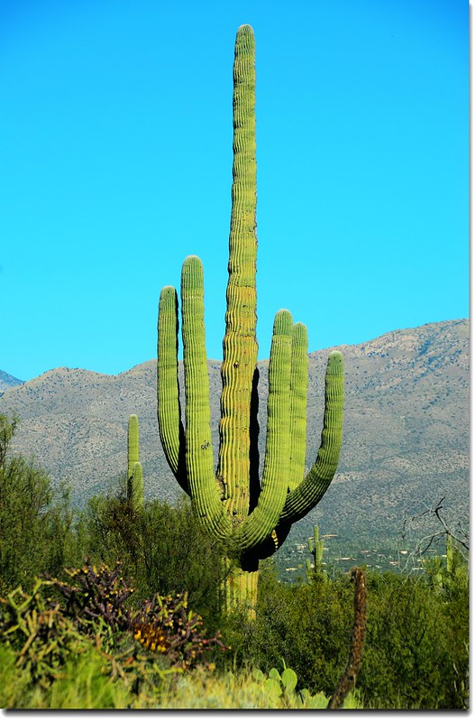 Saguaros growing on the Rincon Mountain District 3