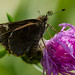 Small photo of Common Roadside Skipper (Amblyscirtes vialis)