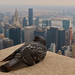 Doves don't cry in New York City... by RALPHKE
