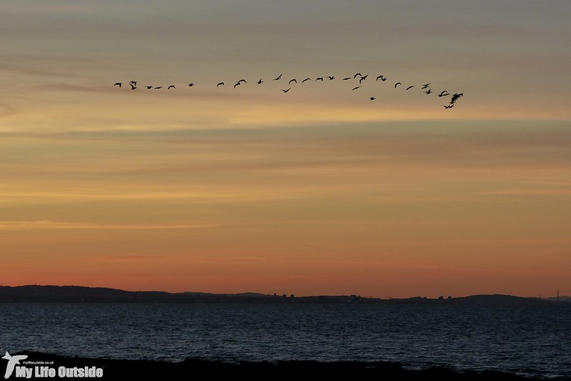 P1160355 - Pink-footed Geese at sunset