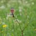 Red-backed Shrike (Tim Melling)