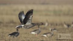 Vuelos de aves (Bird flights). Anátidas (anatids)