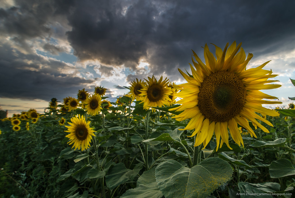 Sunflowers-4.jpg