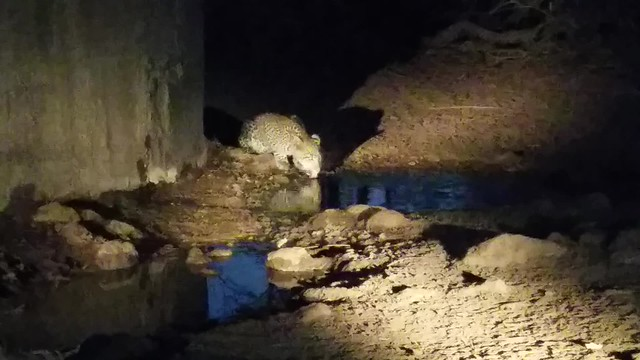 Leopard drinking water at night