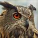 Eurasian Eagle Owl (Oehoe) by Foto Martien