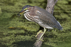 Green Heron DE SEP JG1A7074
