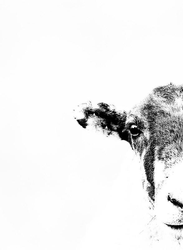 Contrast Sheep