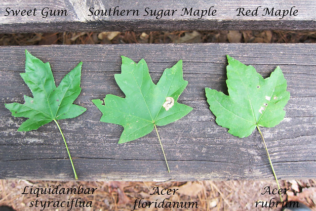 leafmorphology