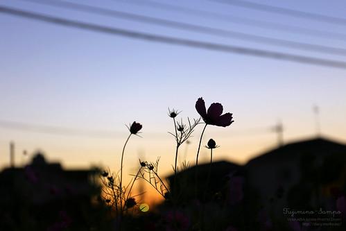 キバナコスモスと朝焼け 20151025-IMG_9899