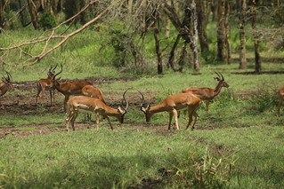 Male impala facing off to fight