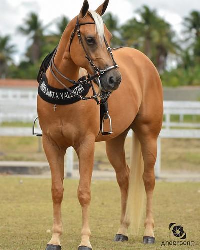 Ivete Two CPMF - Esse linda é uma das grandes promessas do Haras Santa Valentina - Pilar-AL