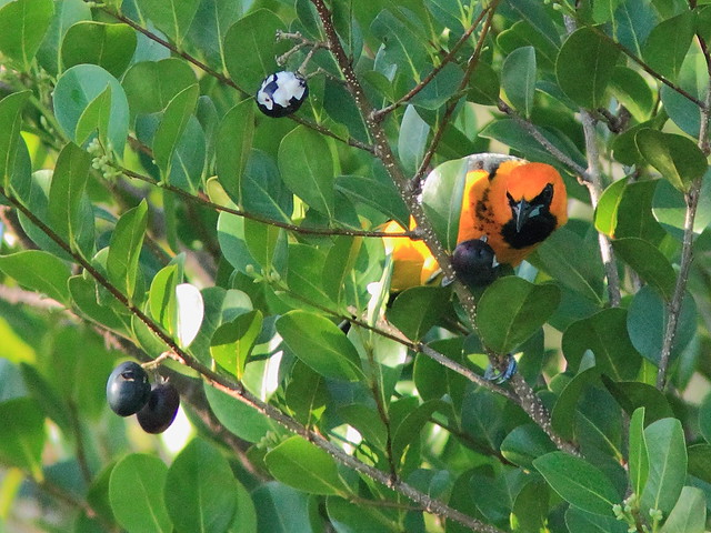 Spot-breasted Oriole eating cocoplum 01-20151202